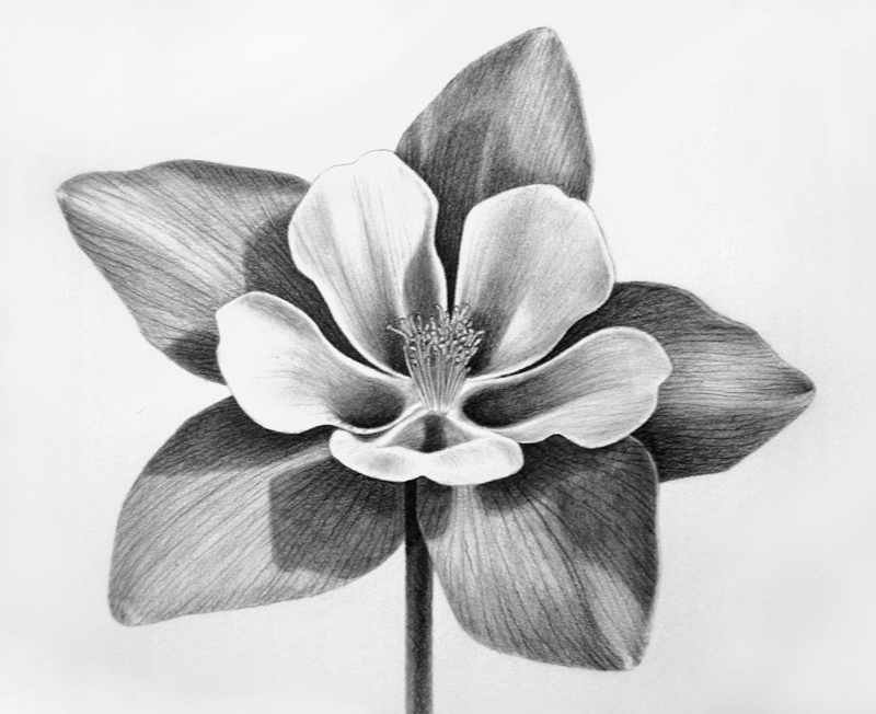 Columbine Flower Line Drawing : Rocky mountain columbine i sketch pets