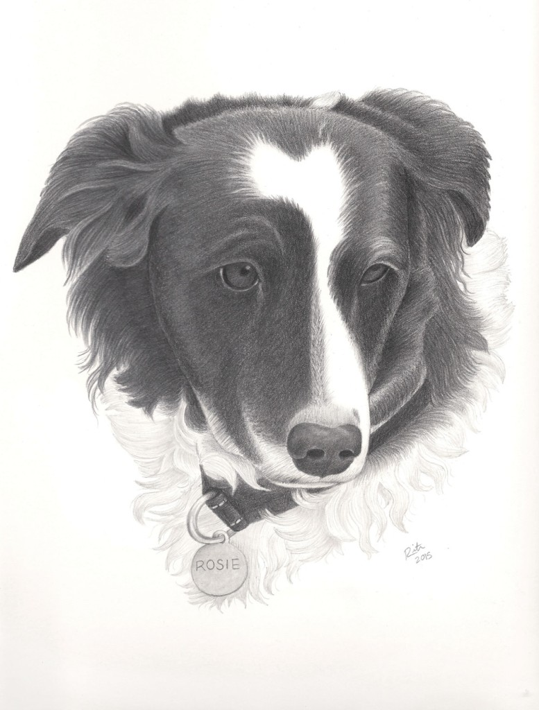 rosie border collie